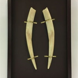Pair of Walrus Tusks